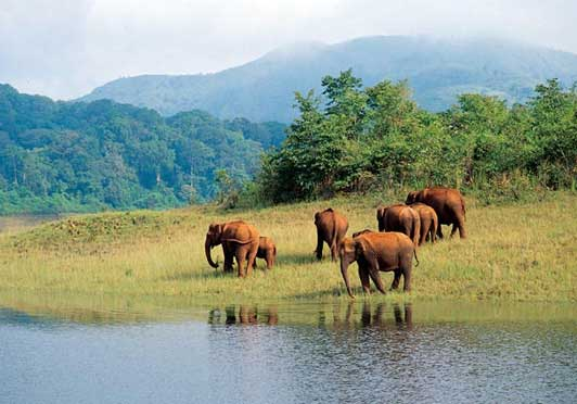 Wild Elephants at Thekkadi