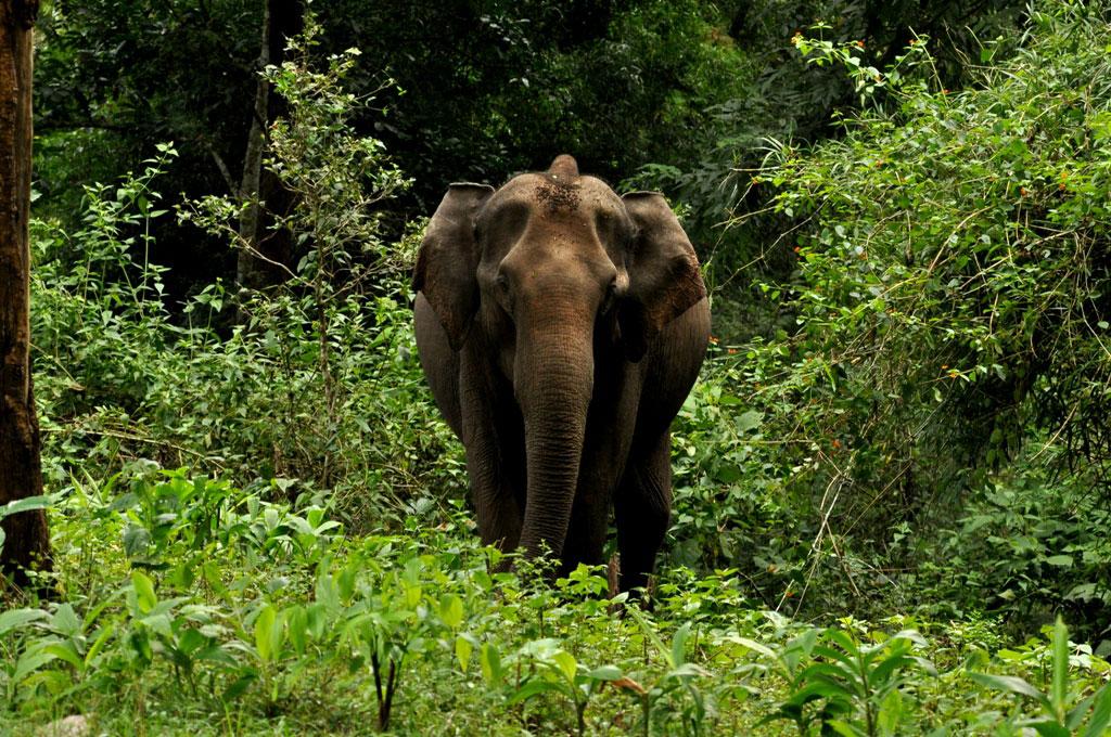 Wild Elephant at Gavi