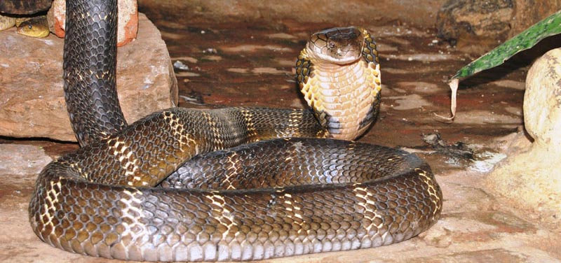 Snake at the Snakepark of Malampuzha